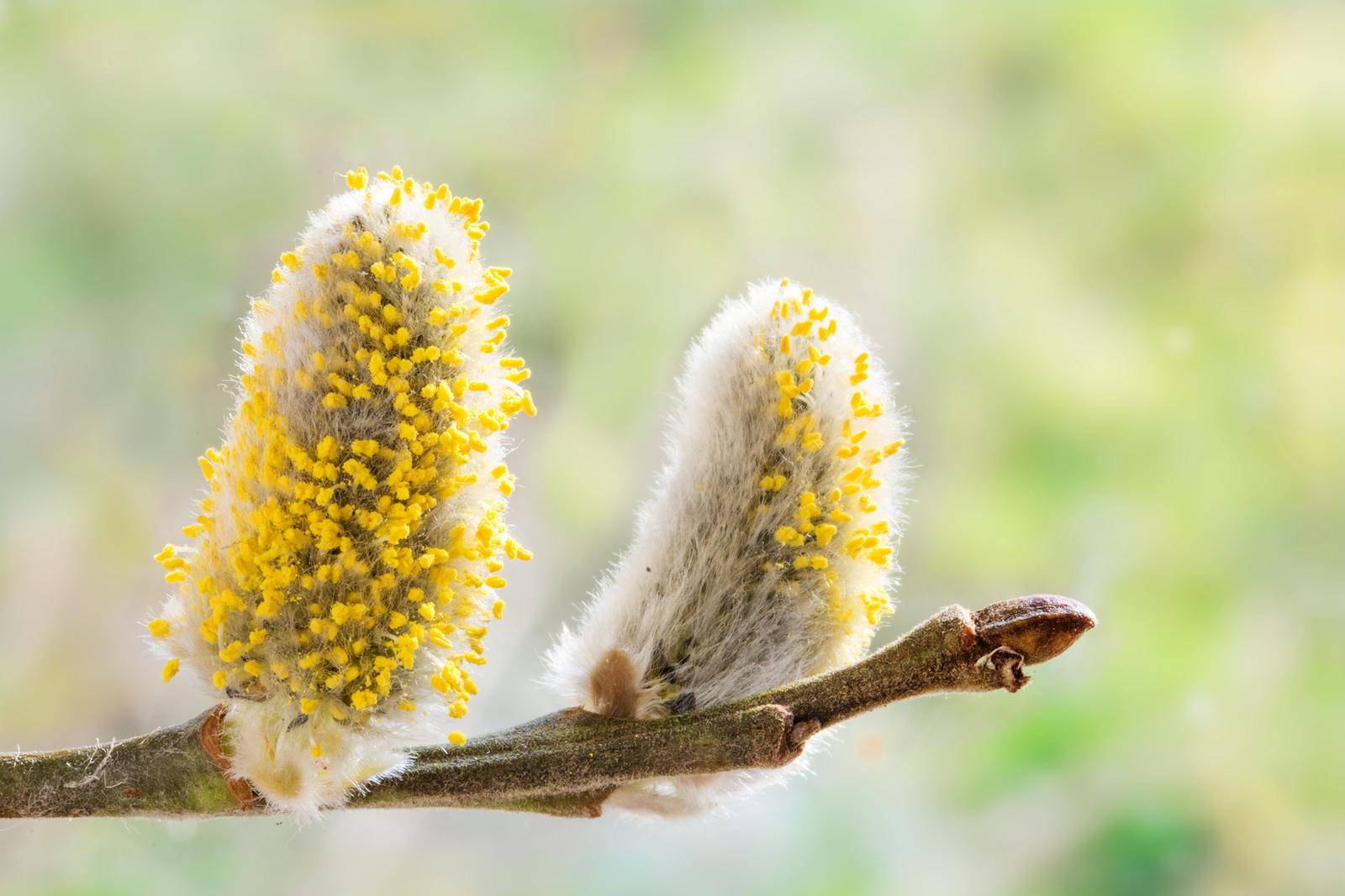 pollen allergy ecarf. Black Bedroom Furniture Sets. Home Design Ideas
